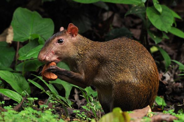 במהלך סיור מודרך בבארו קולרדו פוגשים מינים רבים של בעלי חיים, בהם מכרסם הנקרא אגוטי