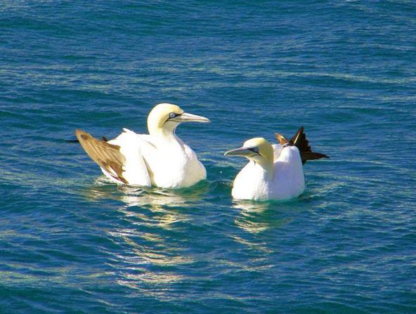להקות הסרדינים מושכות לאזור עופות מים רבים שבאים ליהנות מארוחה דשנה | צילום: אמיר גור