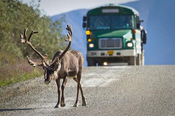 במהלך טיול בשמורת דנאלי תחלקו את הדרך עם לא מעט בעלי חיים | צילומים: NPS