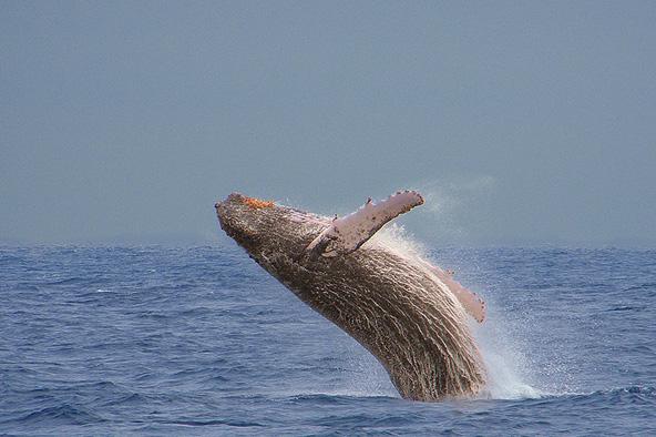 לוויתן גדול סנפיר קופץ מהמים. תארו לעצמכם מפגש קרוב איתו מתחת למים! | צילום: אמיר גור