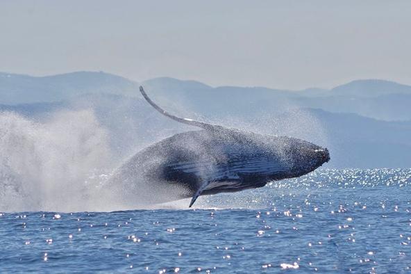 לוויתן גדול סנפיר בזינוק מרשים | צילום: Francis Glassup