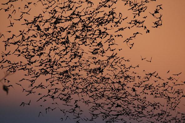 עם השקיעה המוני עטלפים פורצים ממערה בראש הר ומכסיים את השמיים
