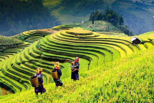 טרסות אורז באזור סאפה