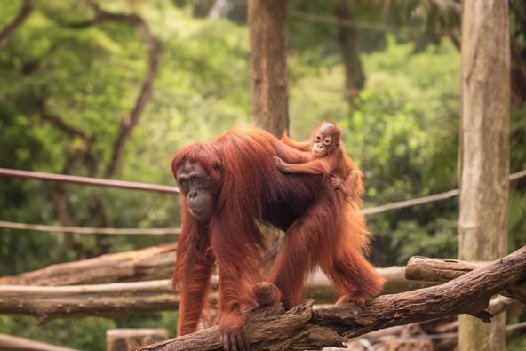 אורנגוטנגים בגן החיות של סינגפור