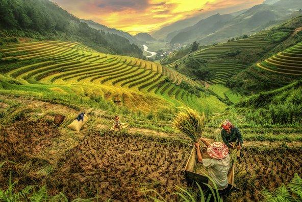 טרסות אורז בווייטנאם | צילומים: שאטרסטוק
