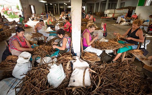 לא הצגה לתיירים. פועלות במפעל טבק במאניקה-אגווה | צילום: רפי קורן