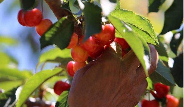 עצים מלאי פרי בדובדבן שבגולן | צילום: מיקי זנתי