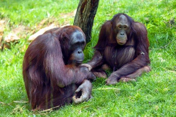 אורנגאוטנים בגן החיות התנ