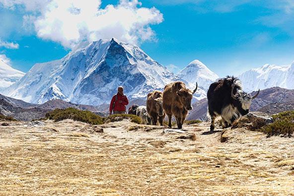 מפגש עם יאקים בטרק שלושת הפאסים, נפאל | צילום: אביעד היטנר