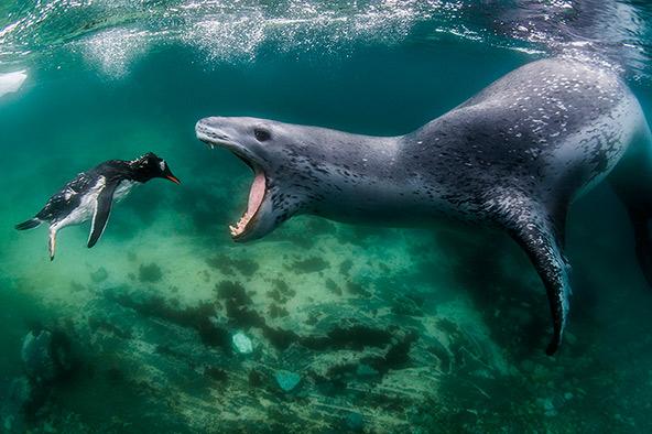 גורל ידוע מראש: כלב ים נמרי פוער פה מול פינגווין גנטו באנטארקטיקה. הצילום נבחר לתמונת השנה של ה-BBC