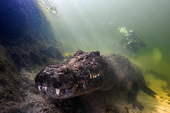תנין נילוס מואר בקרן אור שחודרת למים