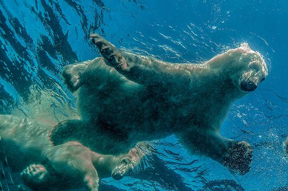 מפגש ישיר ובלתי אמצעי עם דובי קוטב במים הארקטיים של צפון קנדה