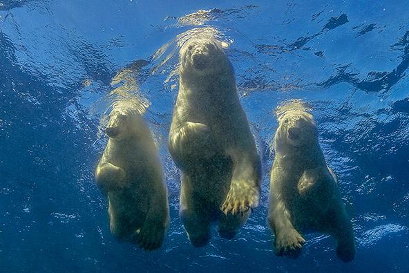 דובי קוטב בצפון קנדה, צילום עמוס נחום