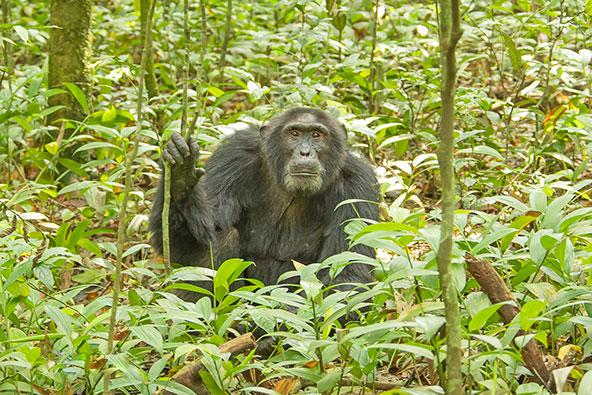 המפגש עם השימפנזים בטבע הוא אחד מרגעי השיא של הטיול באוגנדה