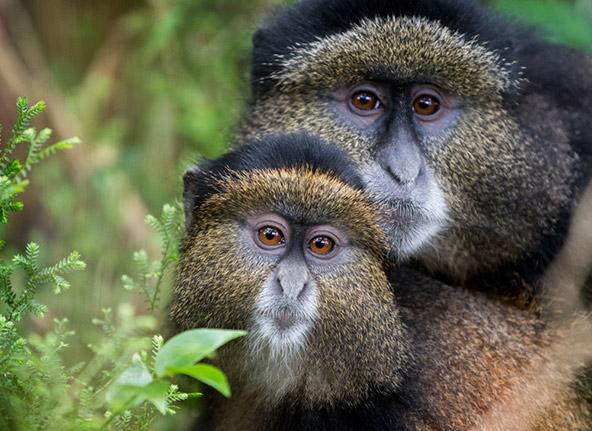לא רק גורילות: קופים זהובים (golden monkey) בשמורת טבע ברואנדה
