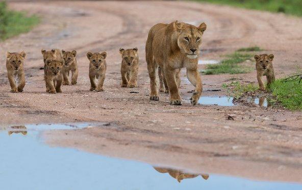 לביאה וגורי אריות בשמורת סרנגטי. יותר מרגש מכל סרט טבע