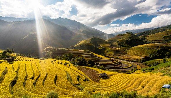 טרסות האורז של מו קאנג צ'אי מזהיבות בעונת הקציר בסתיו