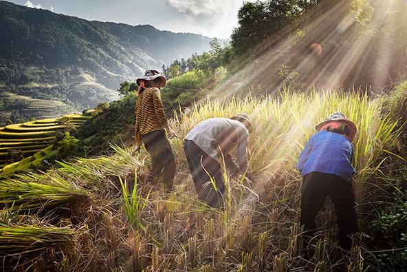 בתקופת החגים שלנו מתחילים לקצור את האורז בטרסות האורז של מו קאנג צ'אי | הצילומים בכתבה באדיבות Asiatica Travel
