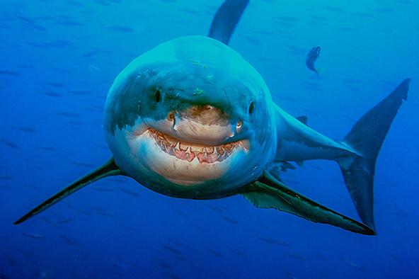 כריש לבן ממרחק נגיעה, נראה כמחייך אל הצלםכריש לבן ממרחק נגיעה, נראה כמחייך אל הצלם