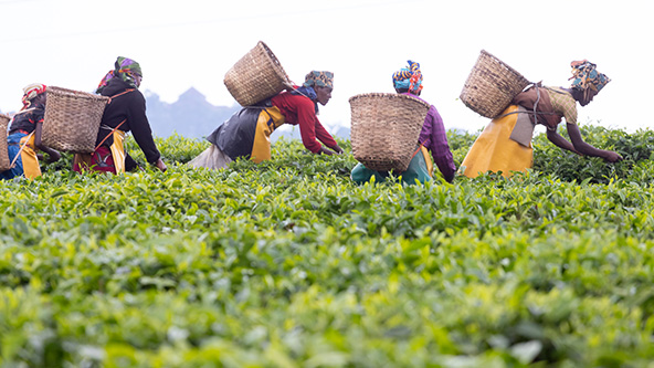 מטעי התה, מוצר הייצוא החשוב ביותר ברואנדה