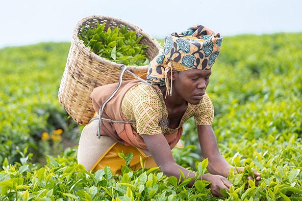 קוטפת תה. מחמישה קילוגרמים של עלים מפיקים קילו אחד של תה
