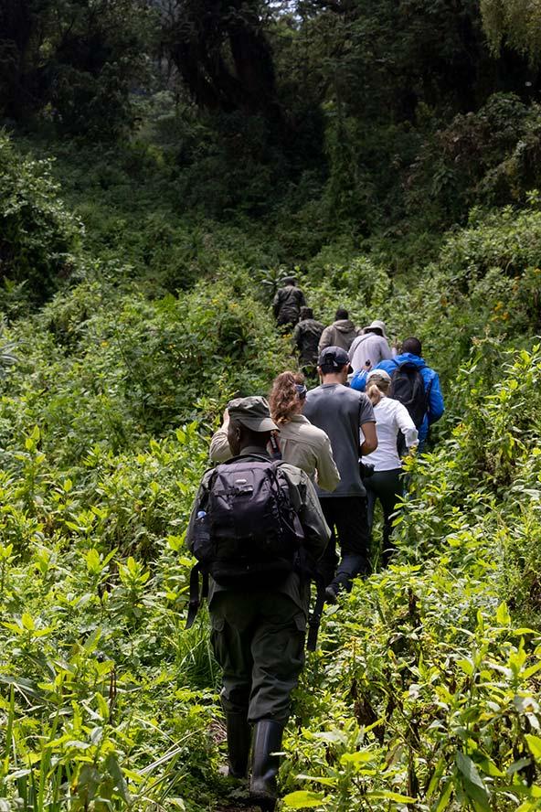 טרק במעבה הצמחייה בשמורת וולקנוס, בדרך אל הגורילות