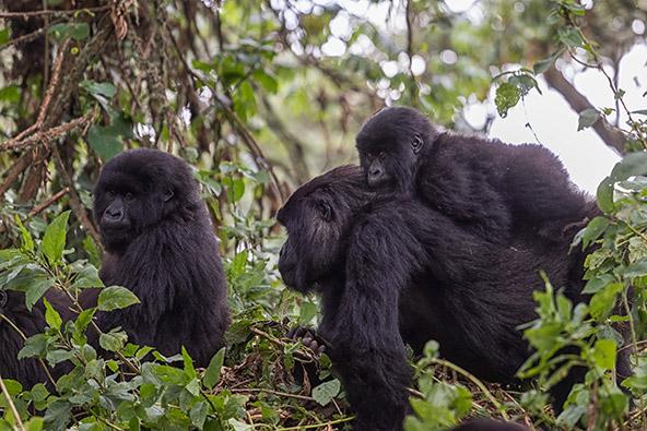משפחת גורילות בשמורת וולקנוס. בטבע אפשר לפגוש גורילות הרים רק בקונגו, אוגנדה ורואנדה
