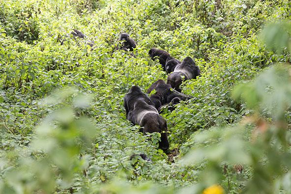 קבוצת גורילות ביער. ניתן לזהות את הזכרים הבוגרים בעזרת הפס האפור שעל גבם