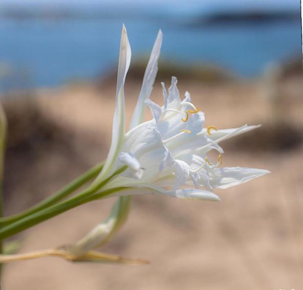 תקריב של פריחת חבצלת החוף | הצילומים בכתבה: ברוך גיאן