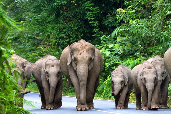 משפחת פילים בשמורת קאו יאי. היש ילד (או סבא וסבתא) שלא ישמחו למראה הזה?
