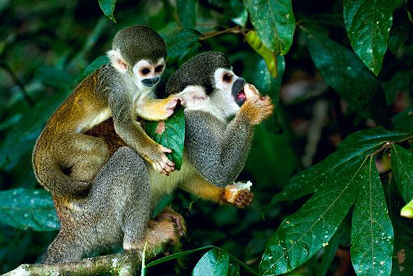 קופי סנאי ביער האמזוני. עושר בלתי נתפס של צמחים ובעלי חיים