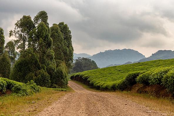 נוף ירוק וגבעות רכות. אוגנדה - לא מה שחשבתי