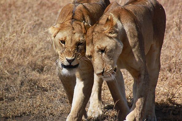 שמורות בטנזניה: נגורונגורו וסרנגטי