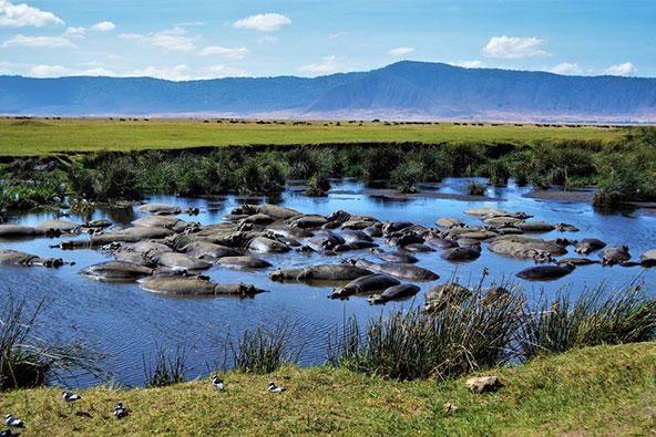 היפופוטמים בנגורונגורו. בשטח קטן יחסית יש מגוון עצום של בעלי חיים