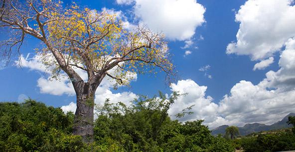 """באובב במלאווי, שניתן לכנותה """"ארץ הבאובבים"""""""