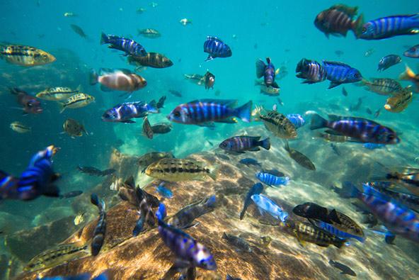דגים אנדמיים באגם מלאווי