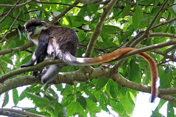 קוף אדום זנב. הקרבה האבולוציונית מאפשרת לקופים אלו להזדווג עם קופים כחולים (בתמונה למעלה)