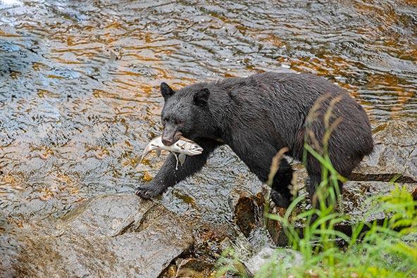 צילום: דובים שחורים באלסקה