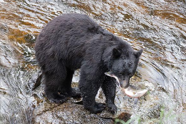 דב שחור בשמורת אנאן. בחודשים שלפני תנומת החורף, הדובים צדים דגים בנהר