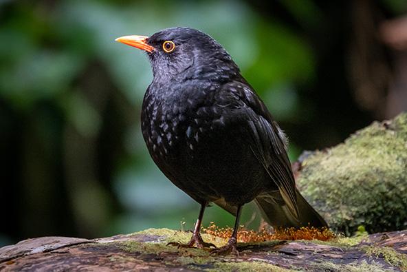 ציפורים בזילנדיה