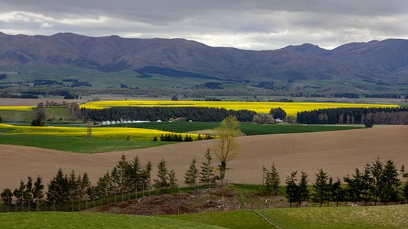 שדות חרדל בדרך להר קוק