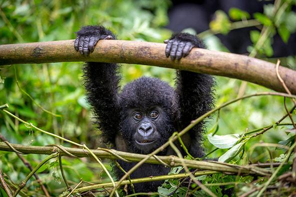 גור גורילה בפארק הלאומי וירונגה בקונגו