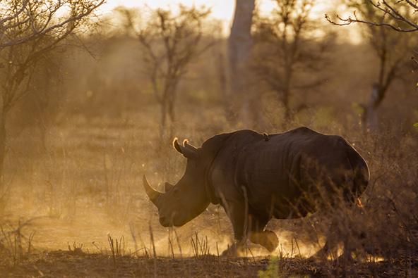 קרנף בשמורת לימפופו במוזמביק. כיום מתאפשר מעבר של בעלי חיים מהשמורות של דרום אפריקה למדינות השכנות