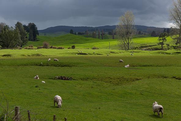 עדרים של פרות וכבשים מנקדים את הנוף כמו סוכריות שפוזרו על עוגה