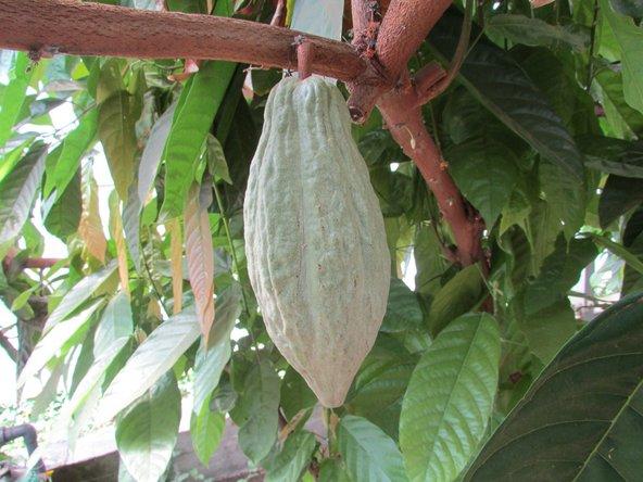 שרינה בעין ורד הוא המקום היחידי בארץ בו תוכלו לבקר בחממת עצי קקאו