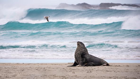 אריות ים בחוף Sandfly