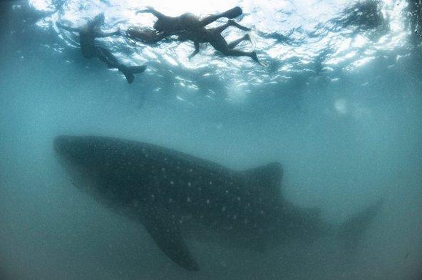 צלילה עם כרישי לוויתן, אחת מהאטרקציות הבולטות בעיר דונסול