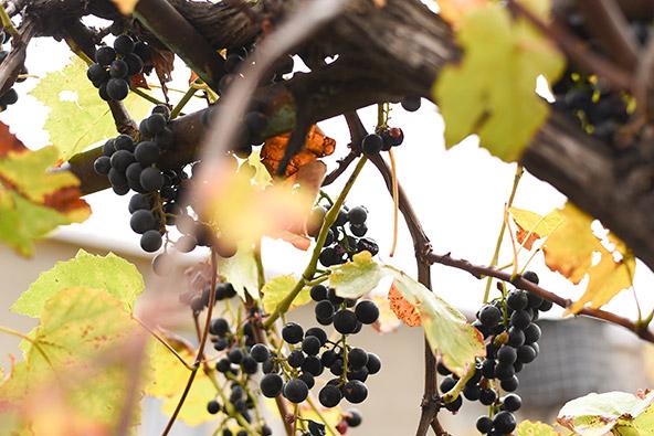 גפנים בגורי. עשיית יין היא חלק בלתי נפרד מהתרבות והמסורת הגאורגית