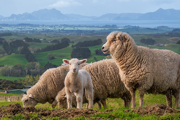 לייב מניו זילנד: סוף הדרך וסוד ההצלחה