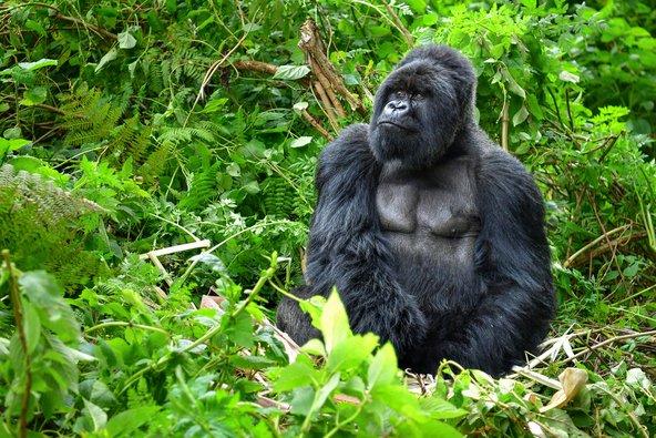 אחת החוויות המרגשות ברואנדה היא המפגש הקרוב (מאוד) עם גורילת הרים